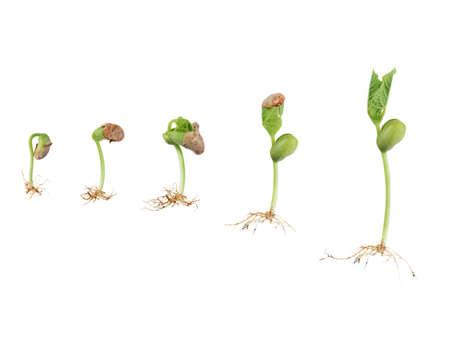 germination: germinaci�n de la semilla de frijol aislada en blanco