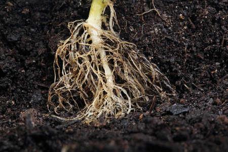 planta con raiz: ra�ces de las plantas peque�as en el suelo