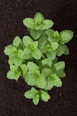 top view of mint plant in soil photo