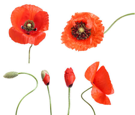 Stages of growing poppies isolated on white photo