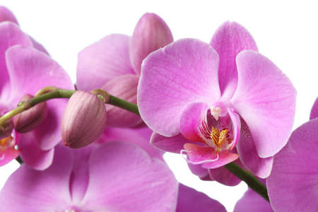 pink orchid isolated on white photo