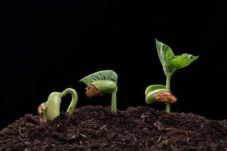 black seeds: seedling of bean seed in soil isolated on black