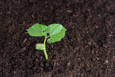 bean sprout in soil photo