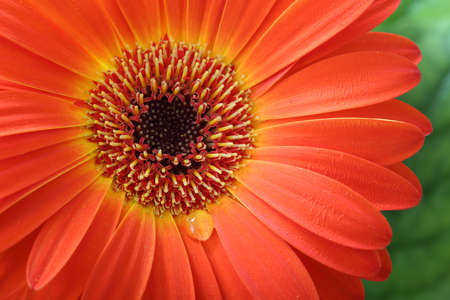 gerbera flower macro with water drop photo