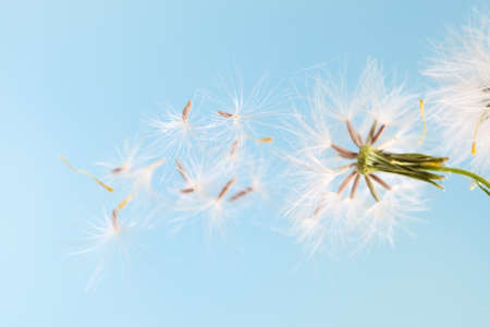 dandelion plant with seeds isolated on blue photo