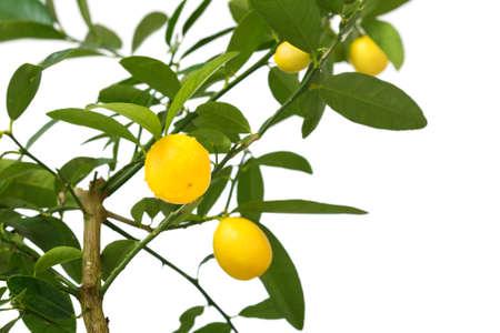 lemon tree isolated on white  photo
