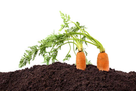 organic carrots in soil isolated on white photo