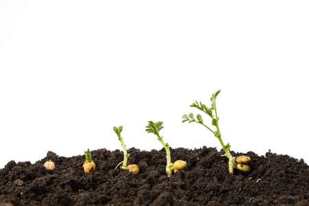 germination: garbanzos germinaci�n en el suelo aislado en blanco