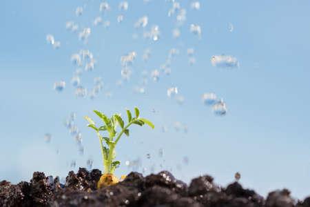 adentro y afuera: garbanzo brote siendo irrigada aislado en fuera de foco, con algunas nubes blancas, cielo azul