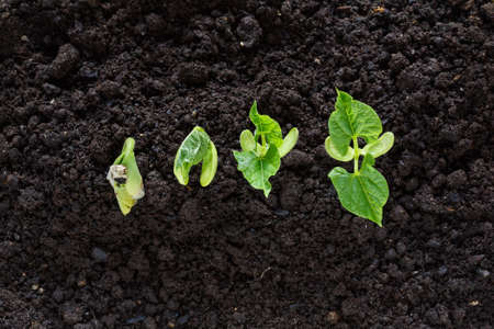 top view of bean seed germination in soil photo
