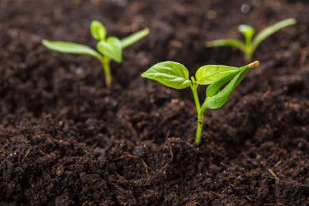 soil: chilli pepper (piri piri) sprouts isolated on soil