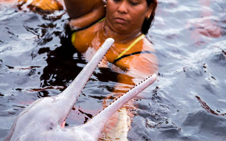 pink dolphin: AMAZON, BRAZIL - CIRCA MARCH 14 2014: People feeding the famous Pink Dolphin (Boto Rosa) in Amazon, Brazil.