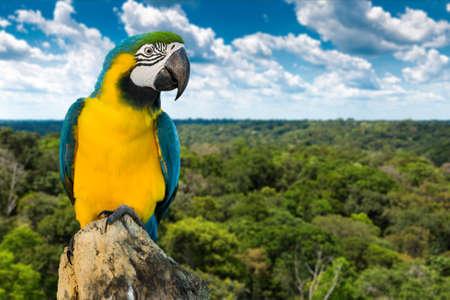 america del sur: Guacamayo azul y amarillo en la naturaleza Foto de archivo