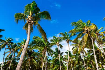 mayan riviera: Palm tree on a beautiful day Stock Photo