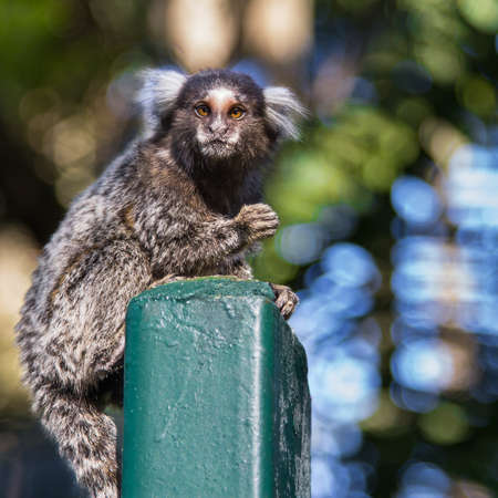 catchy: Shot of a small monkey, marmoset, Callithrix jacchus, over the park fence with background out of focus staring to who looks to him and with one hand on the air.