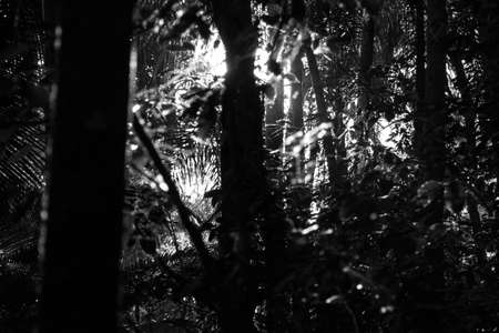 unfold: Black and white photograph of a beam of light coming behind a tree and reflecting in leafs in a tropical forest environment. Represents hope, salvation, something that is coming or hidden behind difficulties and to reveal or unfold something. Stock Photo