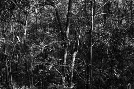 gently: Black and white photograph inside a tropical forest showing light gently touching trees and leafs creating contrast and interest to this view.