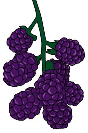 blackberries: blackberries illustration Illustration