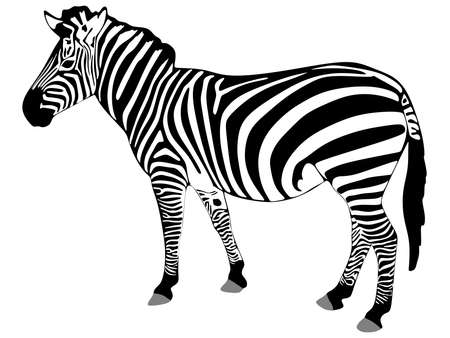 gazing: zebra isolated on white background , vector Illustration