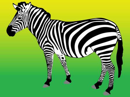 gazing: zebra isolated on white background , vector Illustration
