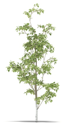 small plant: Birch one metre on a white background. Its 3D image. Stock Photo