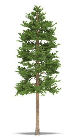 conifer: Big pine on a white background. Its 3D image. Stock Photo