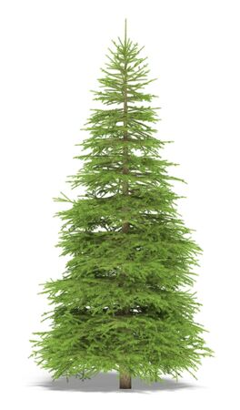 picea: Big spruce on a white background. Its 3D image. Stock Photo