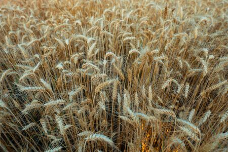 wheat field in Italy at sunset