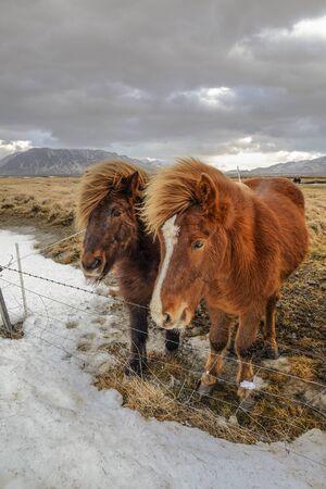 Icelandic horses near road in winter
