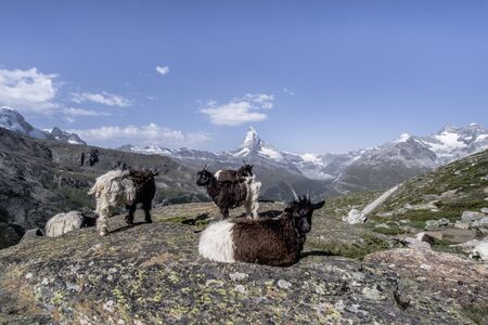 Nice view of Matterhorn with goats in Swiss Alps, Switzerland