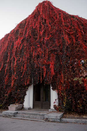 The old building is shrouded in a plant with red leaves. Ivy on a house in the fall