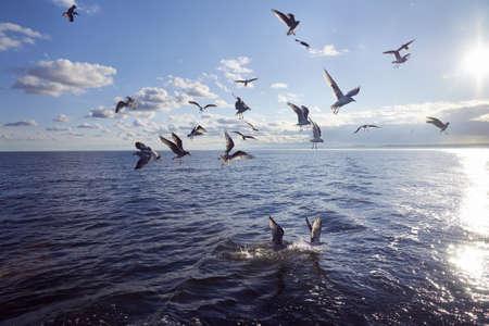 gaviota: Grupo de alimentaci�n de la gaviota en el mar Foto de archivo