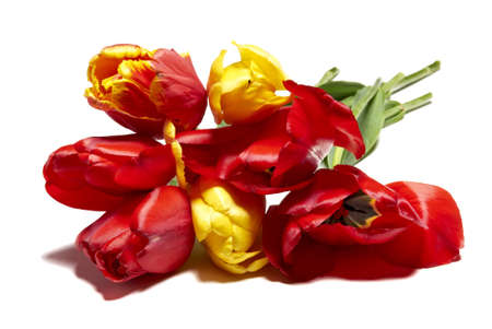 beautiful red tulips close up: Studio shot of tulips isolated on white background