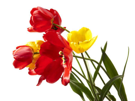 Studio shot of tulips isolated on white background Stock Photo - 13825722