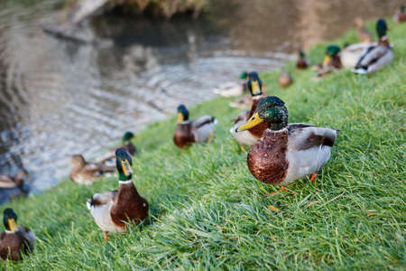 Mallard ducks on the green grass. Selective focus