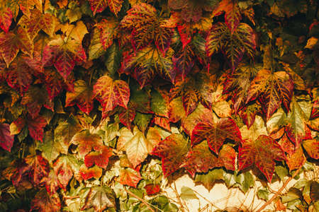 Autumn Virginia creeper leaves background