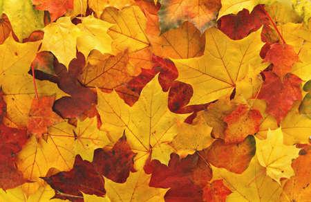 Colorful maple leaves background Archivio Fotografico