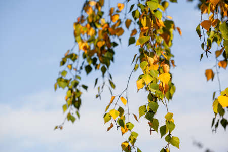 Autumn birch leaves on the sky