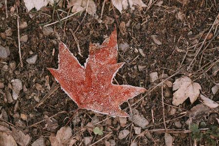 Frozen brown maple leaf 免版税图像