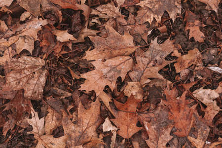 Dry oak leaves. Autumn background 免版税图像