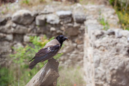 Raven with food in the beak. Ruins in Budapest, near Buda Castle, Hungary