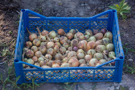Fresh onion bulbs in plastic box