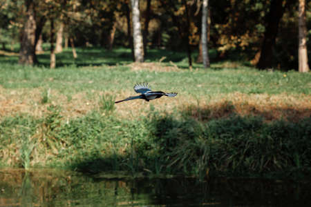 Eurasian magpie or common magpie (Pica pica) flies near the river