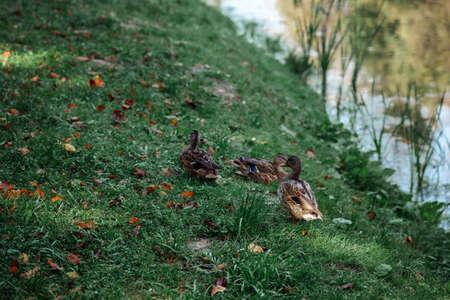Wild ducks near the water on the grass