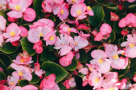 Pink wax begonia flowers