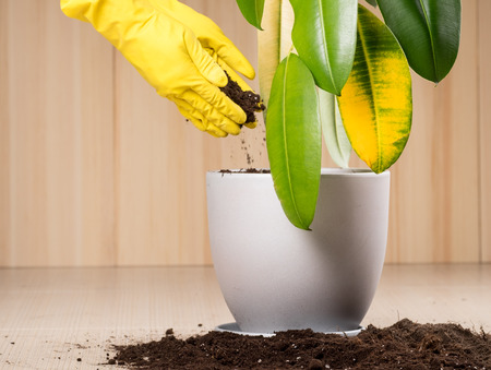 earth handful: Young gardener transplanting a plant in fertile soil and new big flowerpot