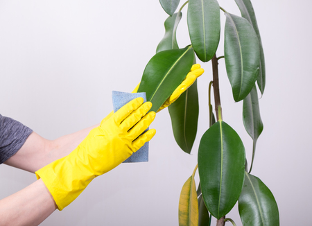 Young man in rubber gloves cleaning big green plant by wet rag