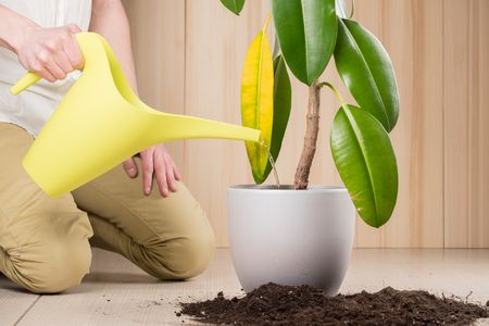Young gardener pouring plant while transplanting it in fertile soil and new big flowerpot Stock Photo