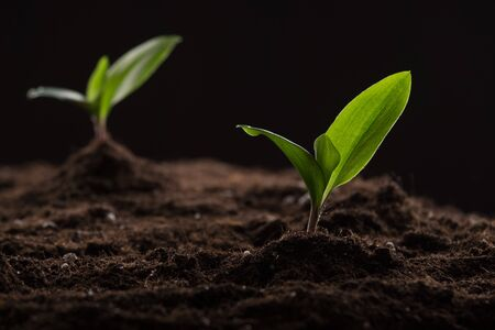 Green young sprouts growing in good brown soil. New life concept