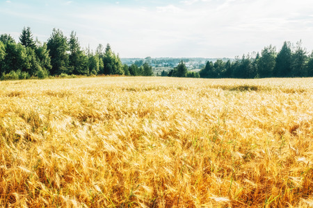 Golden wheat field with green forest in background Stock Photo